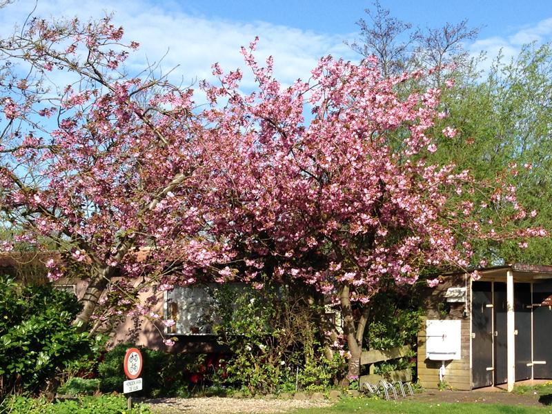 bloeiendeboom
